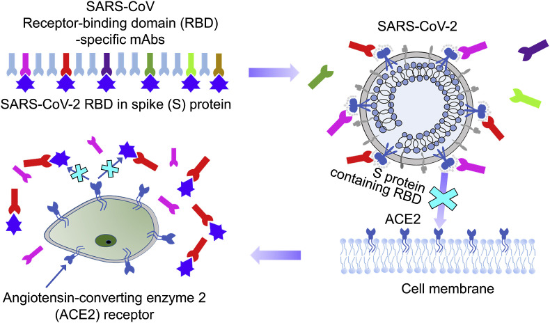 Identification of SARS-CoV RBD-targeting monoclonal antibodies with cross-reactive or neutralizing activity against SARS-CoV-2.